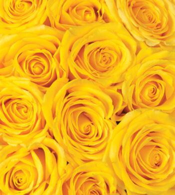 Yellow Skyline Roses