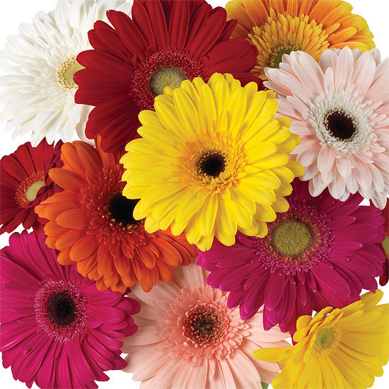 Assorted Rainbow Gerbera Daisies