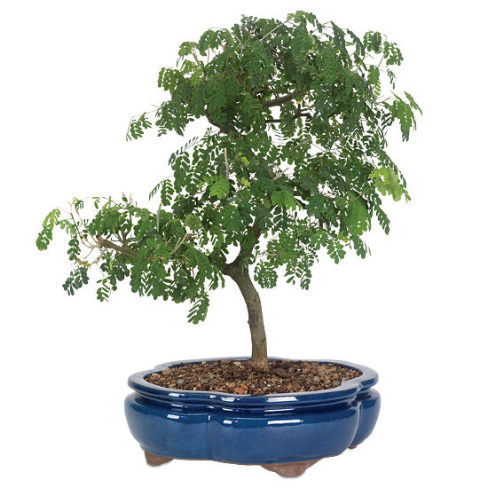 Brazilian Rain Tree