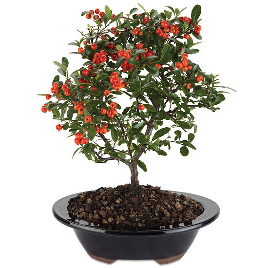 Red Berry Bonsai Calyx Flowers Inc