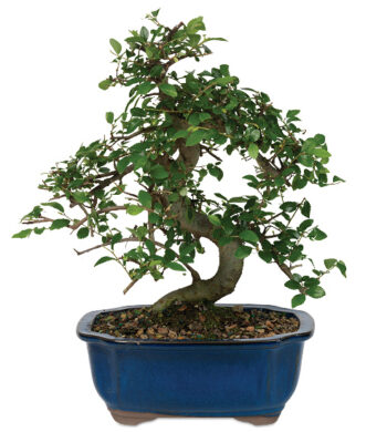 Chinese Elm Bonsai with cachepot