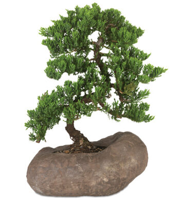 Juniper Rock Bonsai