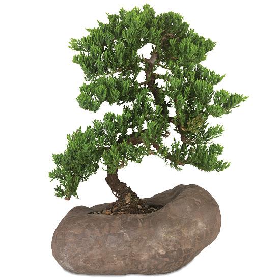 Juniper Rock Bonsai