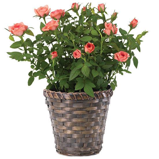 Peppermint Candy Rosebush