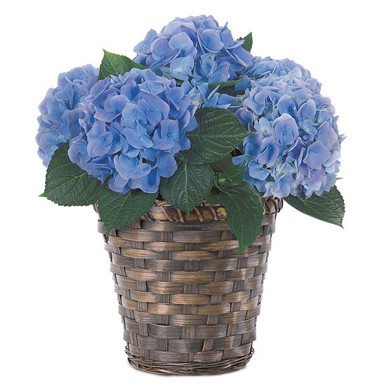 Botanique Blue Hydrangea Plant with basket