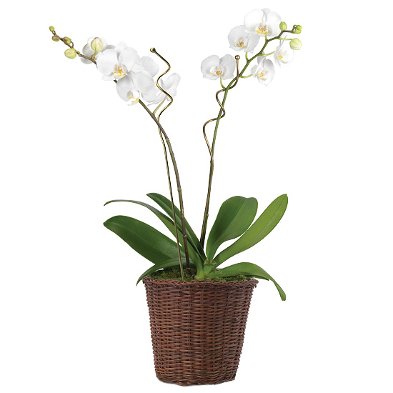 Double White Phalaenopsis Orchid Garden with basket