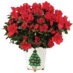Vintage Christmas Azalea