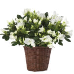 Honeycomb Azalea Plant with basket