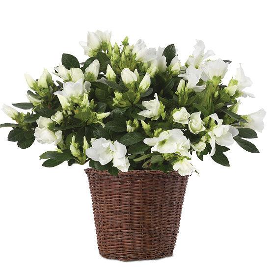 Honeycomb Azalea Plant with basket