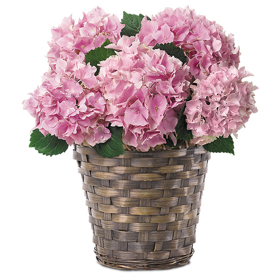Pink Hydrangea Plant with basket