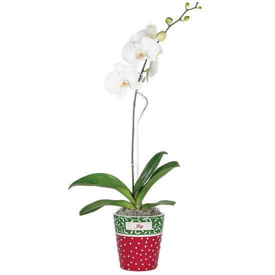 Holiday Joy Orchid