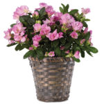 Lavender Azalea Plant with basket