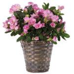 Lavender Azalea Plant with basket