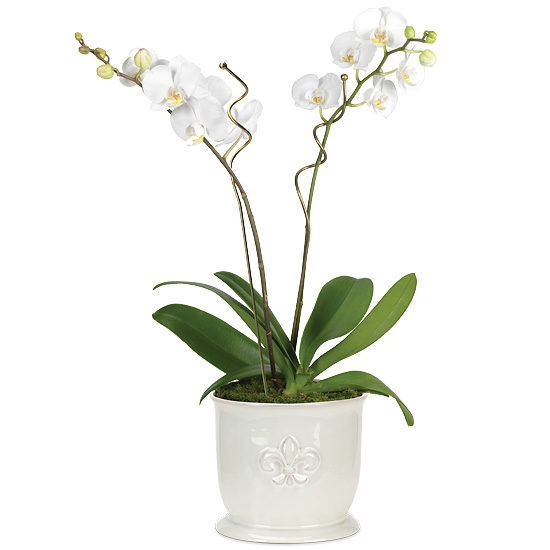 Double White Phalaenopsis Orchid Garden with cachepot