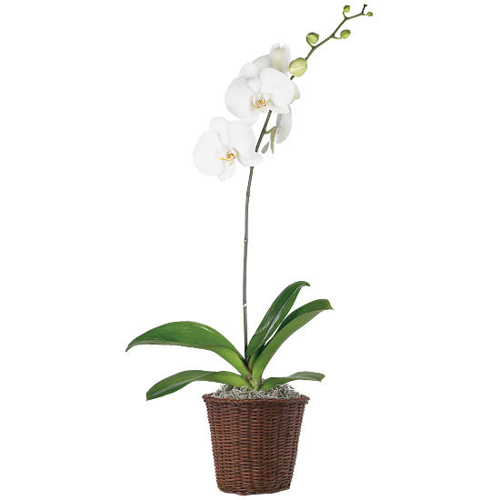 Gala Orchid Plant with basket