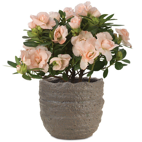 Coral Pink Rozalea Plant