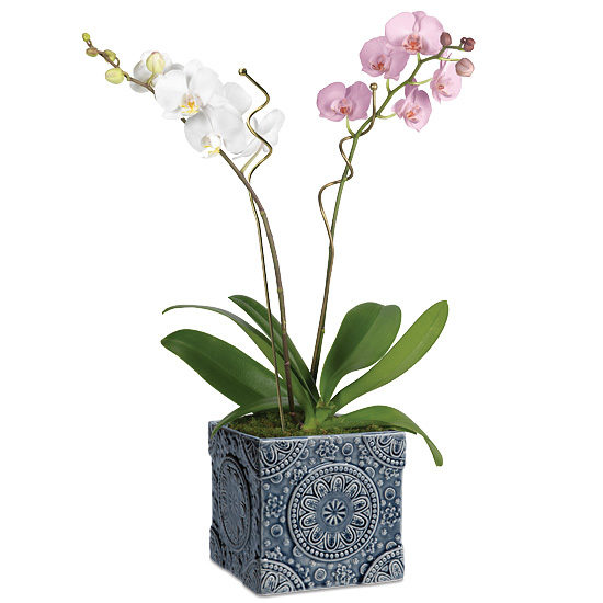 Double Beauty Phaleanopsis Orchid Garden with cachepot