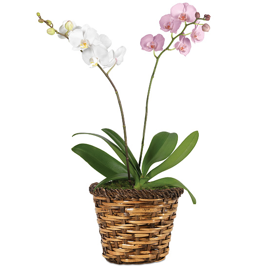 Double Beauty Phaleanopsis Orchid Garden with basket