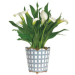 White Calla Lily Plant with cachepot