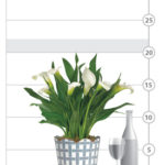 White Calla Lily Plant shown to scale