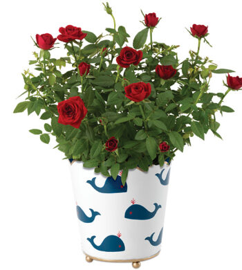 I Whale Always Love You Rosebush