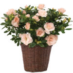 Blush Pink Rozalea Plant with basket