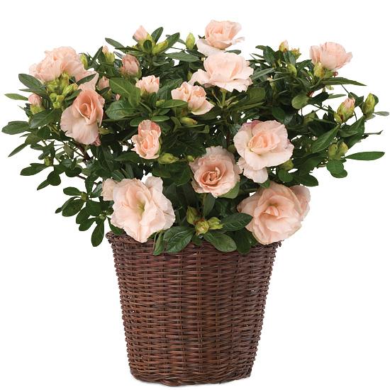 Blush Pink Rozalea Plant with basket