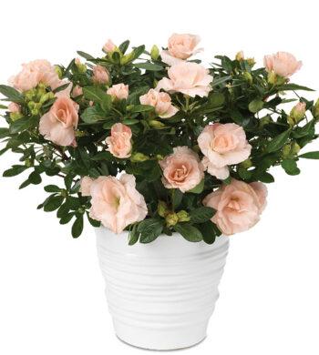 Blush Pink Rozalea Plant with cachepot