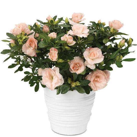 Blush Pink Rozalea Plant with cachepot