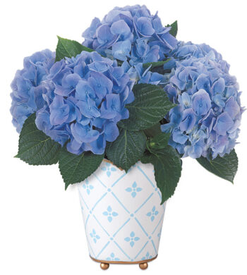 Botanique Blue Hydrangea Plant with cachepot