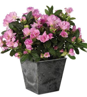 Lavender Azalea Plant with cachepot