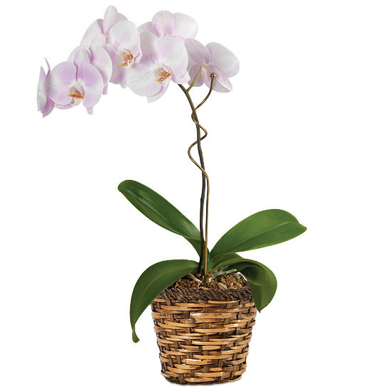 Watercolor Orchid Plant with basket