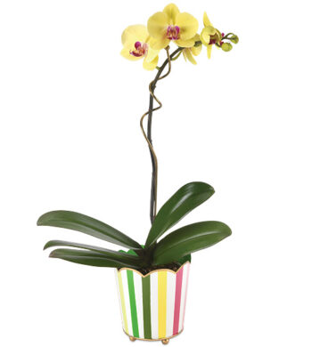 Carousel Orchid Plant with cachepot