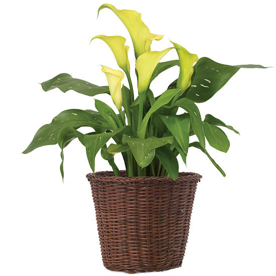 Mini Calla Lily Plant with basket