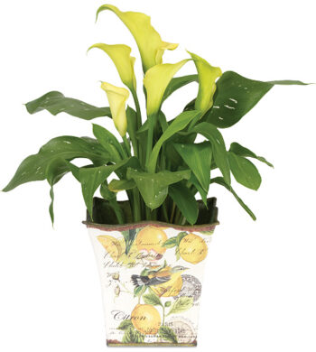 Mini Calla Lily Plant with cachepot