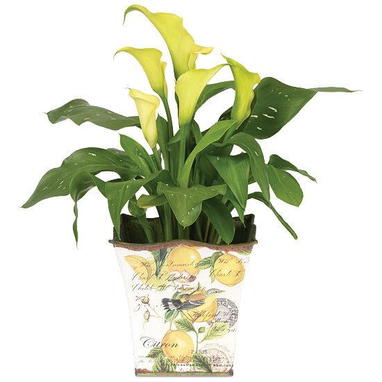 Mini Calla Lily Plant with cachepot