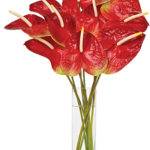 Dec - Red Anthuriums