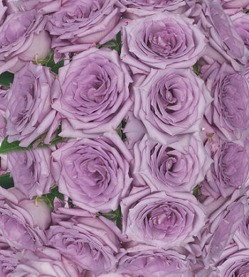 Lavender Coolwater Roses