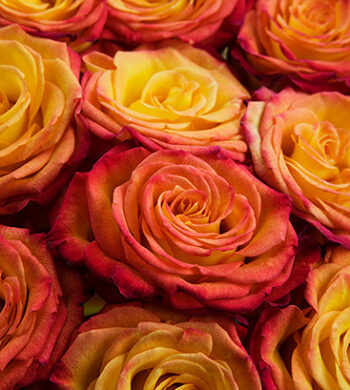 Circus Roses