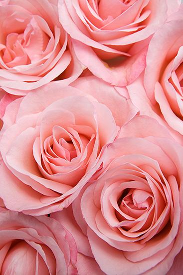 Pink Livia Roses