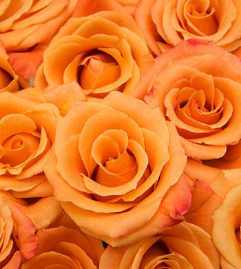 Orange Unique Roses