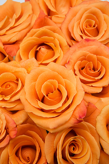 Orange Unique Roses