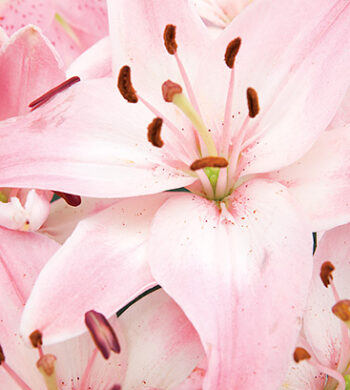 Chianti Pink Asiatic Lilies