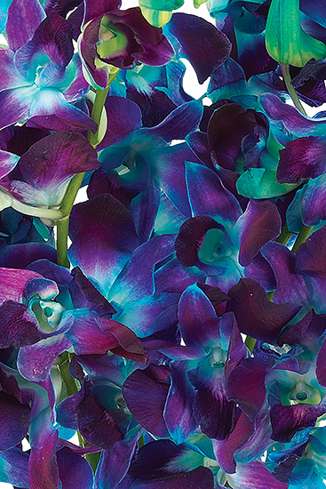 Dyed Blue Bom Dendrobiums