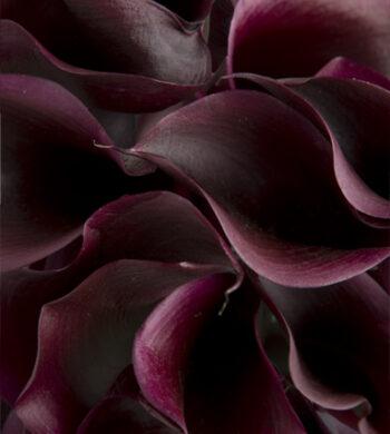 Schwartzwalder Purple Miniature Calla Lilies