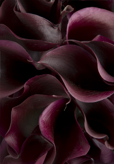 Schwartzwalder Purple Miniature Calla Lilies Calyx Flowers Inc