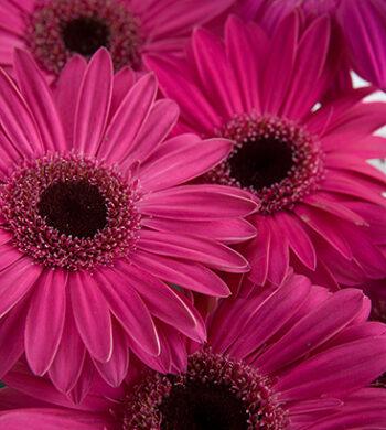 Dark Pink Gerbera Daisies