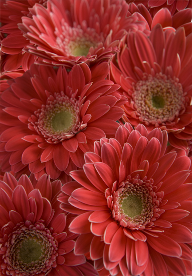 Light Pink Gerbera Daisies