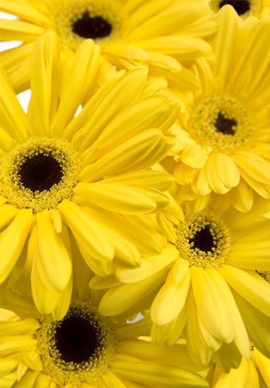 Yellow Gerbera Daisies
