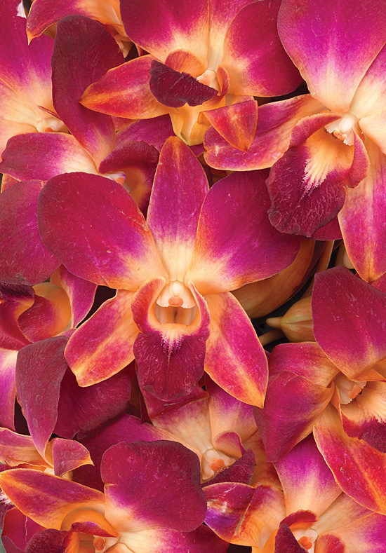 Dyed Orange Bom Dendrobiums